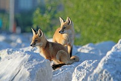 Sweet Pea and Tiny Pants (marylee.agnew) Tags: red foxes babies summer sun cute sweet siblings family young nature wildlife canine outdoor