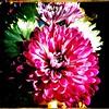 Graduation flowers. #Takoma #dc #dclife #washingtondc #iphone #iPhonemacro #macro  #flower #flowersofinstagram (Kindle Girl) Tags: iphone takoma dc dclife washingtondc iphonemacro macro flower flowersofinstagram
