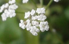 flower (Kero-ppi) Tags: flower white macro