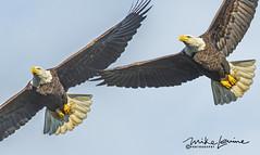 DSC_0419 (mikeyasp) Tags: eagles baldeagles flying fish avian birds haliaeetusleucocephalus