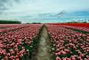 Tulip landscape (Marco van Beek) Tags: holland europe beautiful world nikon d5000 afs dx nikkor 18200mm f3556g ed vr ii tulip landscape nature sky clouds