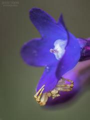 Pendientes de oro (Jesus Tejon) Tags: araña cangrejo flor naturaleza macro olympus 60mm nature flora spider