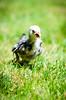 Baby Chickens-32 (sammycj2a) Tags: chick chickens backyardfarm farm chicks pullets straightrun backyard nikon nikkor lightroom