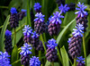 Grape Hyacinth (littlestschnauzer) Tags: muscari blue vivid colour colourful grape hyacinth bulb flowers flowering flower spring springtime april 2018 uk cheshire gardens purple unusual bright