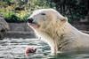 Wearing Breakfast (helenehoffman) Tags: arctic bear wildlife conservationstatusvulnerable sandiegozoo mammal fish ursusmaritimus ursidae tatqiq polarbear polarbearplunge marinemammal animal