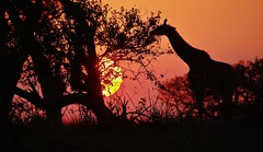 Londolozi Sunset (Susan Roehl) Tags: southafrica2015 londolozigamereserve nearkrugernationalpark southafrica giraffe outdoors sunset wildanimal mammal herbivore ungulate browser tallestanimalonearth sueroehl photographictour naturalexposures pentaxk3 sigma150500mmlens handheld takenfromjeep cropped landscape trees giraffacamelopardalisgiraffa capegiraffe southafricangiraffe foundinsouthafrica namibia botswana zimbabwe mozambique 44500individuals iucnvulnerable coth5 ngc npc