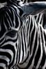 Grant's Zebra (Malcolm Thornton Photography) Tags: ifttt 500px animal sanctury animals b w bw black and white closeup equidae equus quagga boehmi face grants zebra head headshot mammal mammalogy mammals nature plains stripes wild life wildlife reserve animalsanctury blackandwhite equusquagga equusquaggaboehmi grantszebra plainszebra wildanimal wildlifereserve