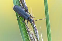 Eichenweichkäfer -  Cantharis obscura (O-Du) Tags: käfer coleoptera stack focus helicon