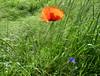 I primi papaveri della stagione (Eli.b.) Tags: papavero rosso campo poppy spring primavera printemps fiori