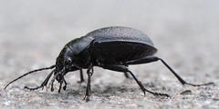 Lederlaufkäfer (Carabus coriaceus) (michaelmueller410) Tags: insekt insect beetle lederlaufkäfer carabus coriaceus 5cm 4cm 2inch schwarz black leather natur nature forest woods wald harz makro macro