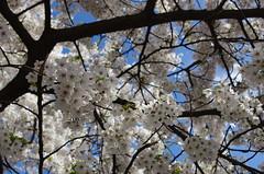 Cherry blossom (rotabaga) Tags: sverige sweden göteborg gothenburg järntorget cherryblossom japansktkörsbärsträd