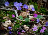 Hepatica Nobilis in different colors! (Toini O Halvorsen) Tags: flower flora anemone nature spring