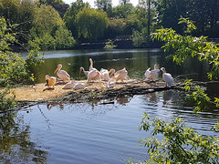 Lepelaarfamilie, Birdpark Avifauna, Netherlands (Freek Blokzijl) Tags: lepelaar avifauna alphen nederland natuur nature vogels birds park birdpark vogelpark vijver springtime smartphone samsung galaxys7