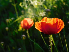 Sunset flowers (cami.carvalho) Tags: sunset poppy papoila nature natureza flower flor field campo sol spring primavera
