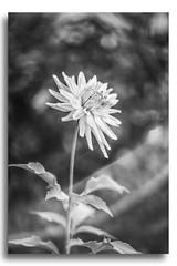 Dahlia B&W (Bear Dale) Tags: flowers dahlia flower bw ulladulla south coast new wales australia nikon d850 nikkor afs micro 105mm f28g ifed vr bear dale monochrome black white