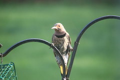 Common Flicker in the Backyard - May 6th, 2018 (Saline Michigan) (cseeman) Tags: commonflicker commonyellowshaftedflicker yellowshafted cold suetfeeder feeder birds michigan saline backyard woodpecker commonflicker05062018