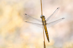 Golden Dragonfly (Skodiar) Tags: dragonfly libelle insekt insect insekten natur nature wildlife canon canon7dmk2