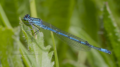 _IMG2008 Azure Damselfly (Pete.L .Hawkins Photography) Tags: petehawkins petelhawkinsphotography petelhawkins petehawkinsphotography pentax 100mm macro pentaxpictures pentaxk1 fantasticnature fabulousnature incrediblenature naturephoto wildlifephoto wildlifephotographer naturesfinest unusualcreature naturewatcher insect invertebrate bug 6legs compound eyes creepy crawly uglybug bugeyes fly wings eye veins flyingbug flying beetle shell elytra ground hoverfly