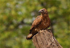 Crested honey buzzard (ahmadmakenza) Tags: crested honey buzzard wildlife pakistan wwf nature natural canon birds watch animals bbc flickr google discovry chanals tv lens camera beutty photo macro action walpapers bhalwal punjab animal outdoor ahmad maken