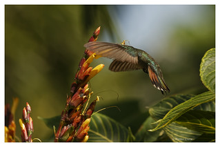 Colibri à gorge rubis; Archilochus colubris; Ruby throated Hummingbird; Colibri Gorgirrubi