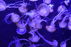Jellyfish (Adventurer Dustin Holmes) Tags: 2018 wondersofwildlife aquarium jellyfish jellies animal animals animalia chordata schoolofjellyfish purple