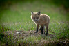 Kit Fox (coleenr2005) Tags: fox redfox kit redfoxkit nature babyfox