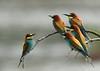 chef d'orchestre (guiguid45) Tags: nature sauvage oiseaux bird loiret loire d810 500mmf4 nikon méropidé guêpierdeurope affût meropsapiaster europeanbeeeater specanimal