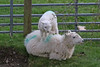 Tolerant Mother (Roy Lowry) Tags: sheep lamb nannerthfawr