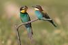 La cattura (franco 1961) Tags: gruccioni gruccione uccelli uccello wildlife wild abruzzo avifauna birds bird farfalle pajaros parchi butterfly