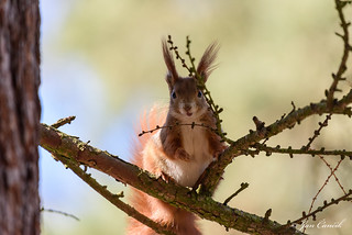 Red Squirrel winter 2018