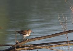 Un funambule ... (Régis B 31) Tags: actitishypoleucos charadriiformes chevalierguignette commonsandpiper scolopacidés ariège bird domainedesoiseaux mazères oiseau