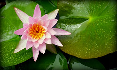 Liquid Beauty (gatorgalpics) Tags: rainyday waterlily harnmuseumofart universityofflorida