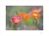 Flores de papel (E. Pardo) Tags: flores flowers blumen amapolas poppys mohnblumen colores colors farben formas formen forms primavera frühling spring admont steiermark austria