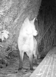 An alert fox during the night searching for food