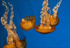 Sea Nettle (raymondclarkeimages) Tags: raymondclarkeimages 8one8studios usa flickr rci xseries fujifilm underwater jellyfish xf35mmf2rwr google smugmug yahoo apsc mirrorless seanettle tentacles umbrella closeup focus xt2 jellies aquaticanimal water