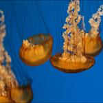 Sea Nettle thumbnail