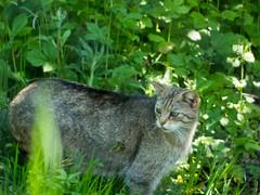 20180521-P1680460 (Dudli Photography) Tags: wildschwein damhirsche murmeltier gems waldkatze peter und paul