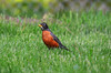 American Robin (U.S. Fish and Wildlife Service - Midwest Region) Tags: minnesota mn spring may 2018 nature wildlife bird birds birding americanrobin robin red backyard yard grass lawn