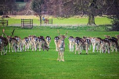 In the spotlight (L.N.Photography) Tags: deer wildlife holkham norfolk holkhamhall beautiful park visitnorfolk nature trees canon 55250mm