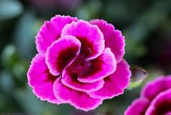 Spring Flowers (Rick & Bart) Tags: flower bloem nature blossom flora lente spring rickvink rickbart canon eos70d macro garden sintlambrechtsherk bloom