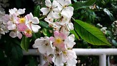 Halvány rózsaszín virágfürtök (Szombathely) (milankalman) Tags: pink spring nature