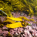 Young crayweed plants -