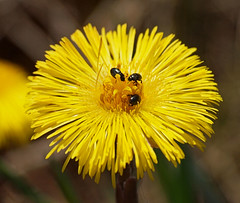 2018_04_0141 (petermit2) Tags: coltsfoot tussilagofarfara tussilago asteraceae daisy pollenbeetle beetle meligethesaeneus meligethes pottericcarr potteric doncaster southyorkshire yorkshirewildlifetrust wildlifetrust ywt