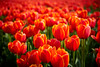 Red Tulip (chuanet) Tags: a7 availablelight bollenstreek zeiss55mm sel55f18z colours noordwijk fields flowers holland ilce7 tulips sony spring blossom red orange closeup