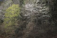 nature printanière (bulbocode909) Tags: valais suisse martigny forêts arbres nature vert printemps