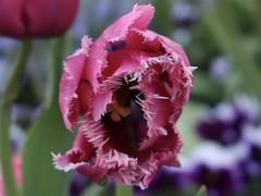 Straight On (Robert Cowlishaw (Mertonian)) Tags: deeply wonder awe ineffable straighton red pink blossom spring canonpowershotg1xmarkiii markiii powershotg1x canon flower petals jagged robertcowlishaw mertonian