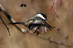 Black-capped Chickadee flits to another branch...6O3A8027A (dklaughman) Tags: chickadee blackcapped bird primehooknwr delaware