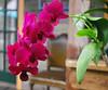 Key West (Florida) Trip 2017 0283Ri 5x6 (edgarandron - Busy!) Tags: florida keys floridakeys keywest blueheaven restaurant restaurants flower flowers orchid orchids