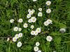 Lantz'scher Park: Bellis perennis (common daisy) (hhschueller) Tags: nrw duesseldorf düsseldorf germany duitsland samsungs8 deutschland ドイツ デュッセルドルフ