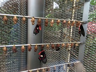Butterflies emerging from pupae in Singapore airport